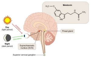 pineal-gland_med